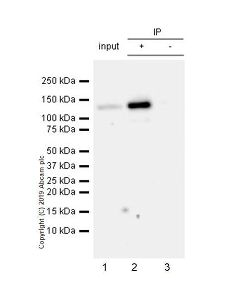 Immunoprecipitation - Anti-NLRP3 antibody [EPR23094-1] - BSA and Azide free (ab264468)