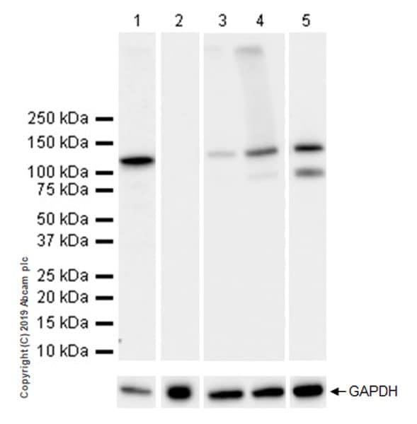 Western blot - Anti-NLRP3 antibody [EPR23094-1] - BSA and Azide free (ab264468)