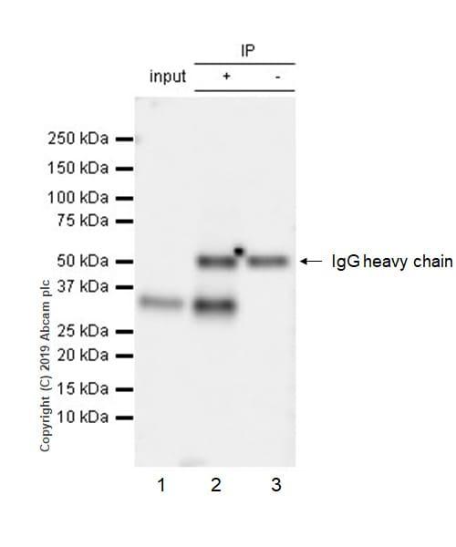 Immunoprecipitation - Anti-PU.1/Spi1 antibody [EPR22624-20] - BSA and Azide free (ab264473)