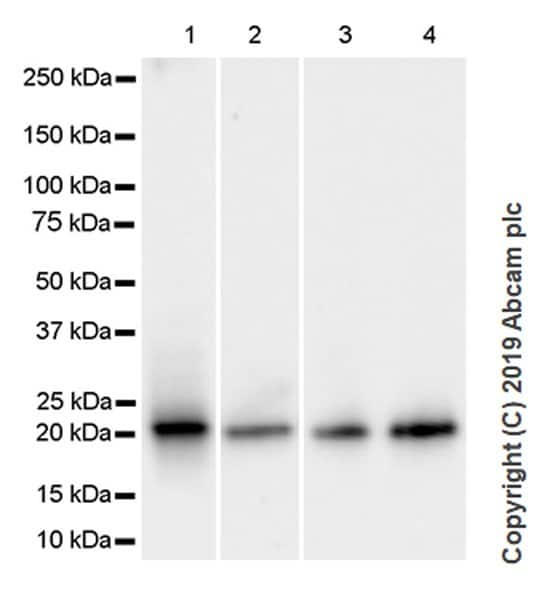 Western blot - Anti-CDC42 antibody [28-10] - BSA and Azide free (ab264478)