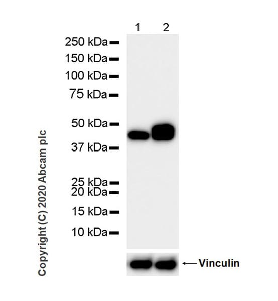 Western blot - Anti-Pentraxin 3/PTX3 antibody [MNB1] - BSA and Azide free (ab264487)