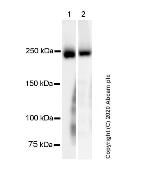 Western blot - Anti-Myosin antibody [A4.1025] - BSA and Azide free (ab264490)