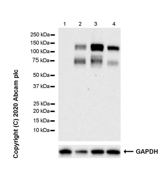Western blot - Anti-Axl antibody [7E10] - BSA and Azide free (ab264492)