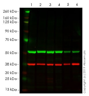 Western blot - Anti-alpha Tubulin antibody [DM1A] - BSA and Azide free (ab264493)