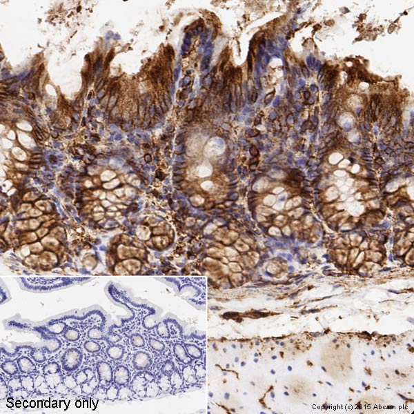 Immunohistochemistry (Formalin/PFA-fixed paraffin-embedded sections) - Anti-alpha Tubulin antibody [DM1A] - BSA and Azide free (ab264493)