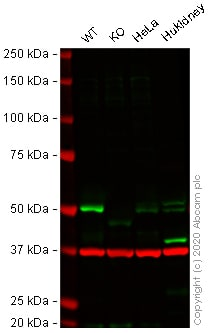 Western blot - Human SMAD3 knockout A549 cell lysate (ab264513)