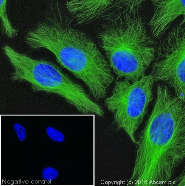 Immunocytochemistry/ Immunofluorescence - Anti-Tubulin antibody [YL1/2] - BSA and Azide free (ab264519)