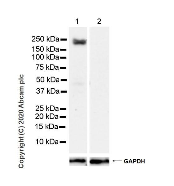 Western blot - Anti-PREX1 antibody [6F12] (ab264535)