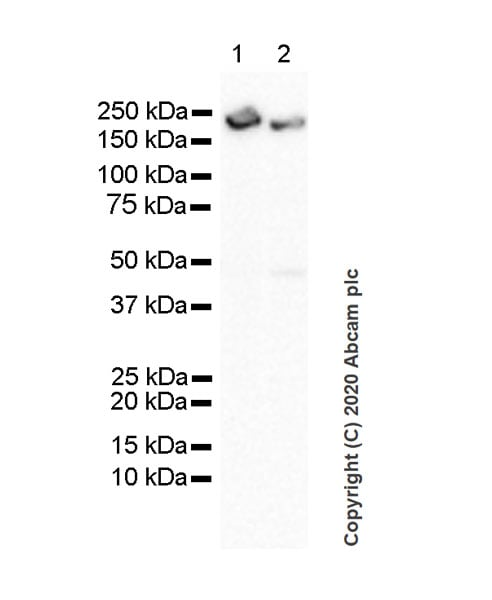 Western blot - Anti-PREX1 antibody [6F12] - BSA and Azide free (ab264536)