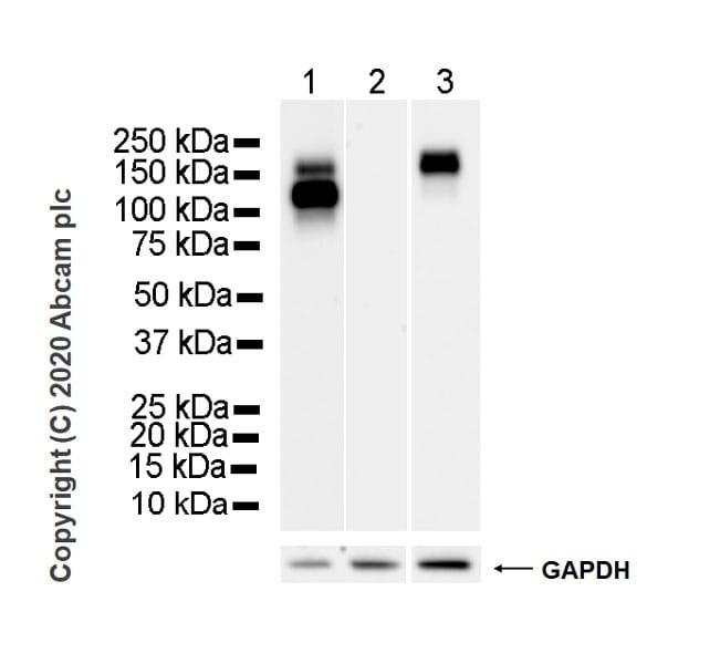 Western blot - Anti-EGFR antibody [EMab-134] (ab264540)