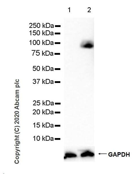 Western blot - Anti-CD44 antibody [C44Mab-5] - BSA and Azide free (ab264546)