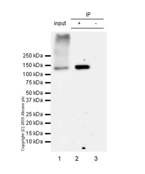 Immunoprecipitation - Anti-HDAC6 antibody [EPR22951-29] - BSA and Azide free (ab264565)