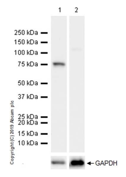 Western blot - Anti-DDX4 / MVH antibody [EPR22988-3] - BSA and Azide free (ab264569)