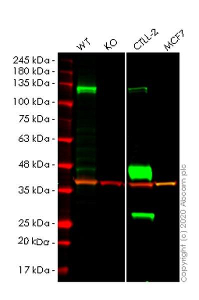 Western blot - Human CBLB knockout HeLa cell line (ab264711)