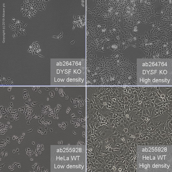 Other - Human DYSF knockout HeLa cell line (ab264764)