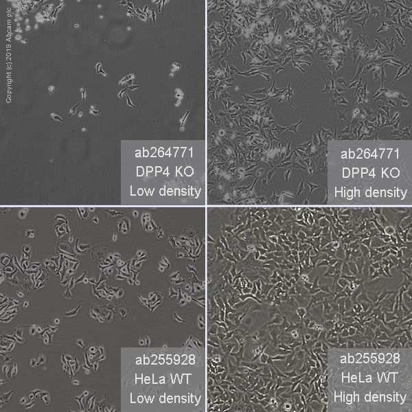 Other - Human DPP4 knockout HeLa cell line (ab264771)