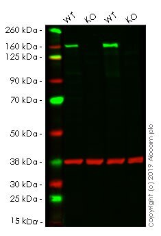 Western blot - <p>Human HDAC6 knockout HeLa cell line</p> (ab264804)