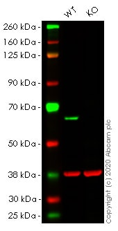 Western blot - Human PAK2 knockout HeLa cell line (ab264814)