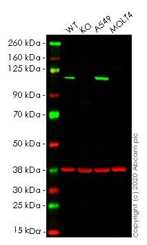 Western blot - Human MVP knockout HeLa cell line (ab264817)
