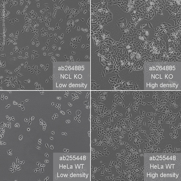 Cell Culture - Human NCL (Nucleolin) knockout HeLa cell line (ab264885)