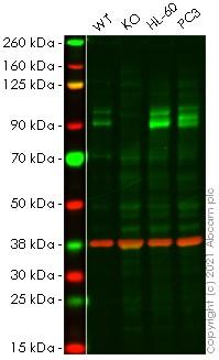 Western blot - Human TLK1 knockout HeLa cell line (ab264898)