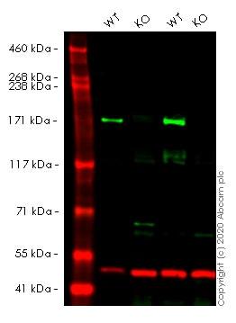 Western blot - Human BAZ1B knockout HeLa cell line (ab264907)
