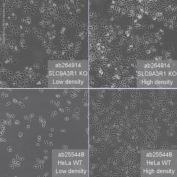 Cell Culture - Human SLC9A3R1 (EBP50/NHERF-1) knockout HeLa cell line (ab264914)