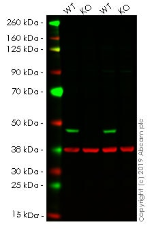 Western blot - Human IDH1 knockout HeLa cell line (ab264916)