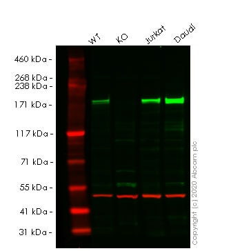 Western blot - Human BAZ1A knockout HeLa cell line (ab264925)
