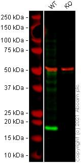 Western blot - Human ARF1 knockout HeLa cell line (ab264939)