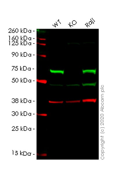 Western blot - Human CBS knockout HeLa cell line (ab264950)