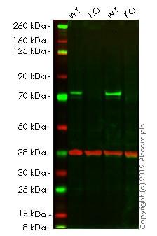 Western blot - Human RAF1 knockout HeLa cell line (ab264978)