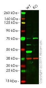 Western blot - Human ASS1 knockout HeLa cell line (ab264989)