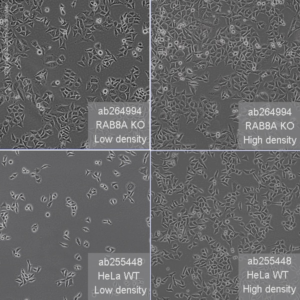 Other - Human RAB8A knockout HeLa cell line (ab264994)