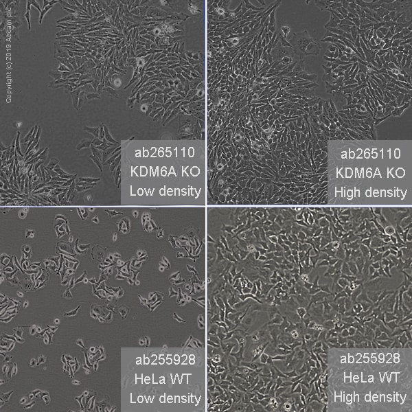 Other - Human KDM6A knockout HeLa cell line (ab265110)