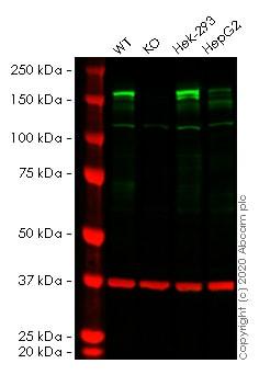 Western blot - Human EHMT2 knockout HeLa cell line (ab265149)
