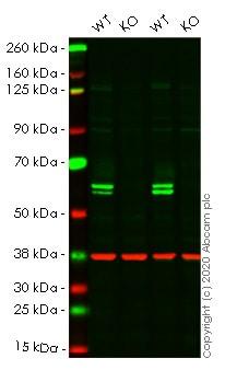 Western blot - Human PTBP1 knockout HeLa cell line (ab265155)