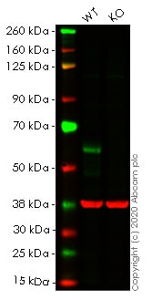 Western blot - Human CDC25C knockout HeLa cell line (ab265189)
