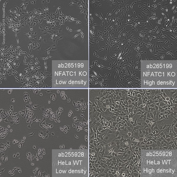 Other - Human NFATC1 knockout HeLa cell line (ab265199)