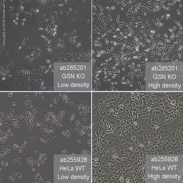 Other - Human GSN knockout HeLa cell line (ab265201)
