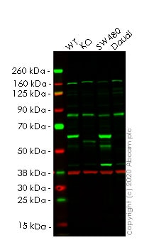 Western blot - Human YES1 knockout HeLa cell line (ab265202)