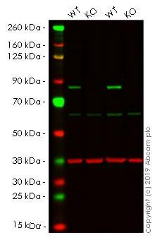 Western blot - Human TGM2 knockout HeLa cell line (ab265245)