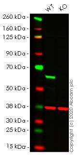 Western blot - Human CAT knockout HeLa cell line (ab265250)