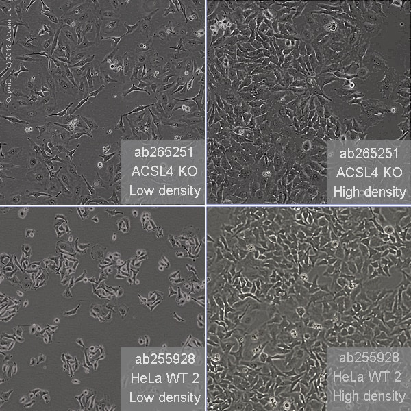 Other - Human ACSL4 knockout HeLa cell line (ab265251)