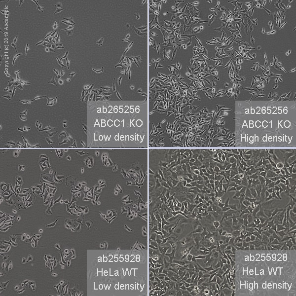 Cell Culture - Human ABCC1 (MRP1) knockout HeLa cell line (ab265256)