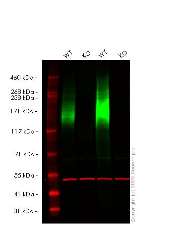 Western blot - Human ABCC1 knockout HeLa cell line (ab265256)