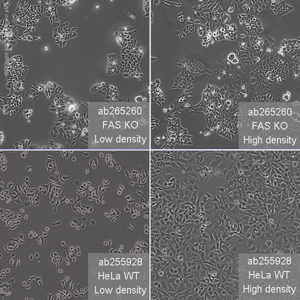 Cell Culture - Human FAS knockout HeLa cell line (ab265260)