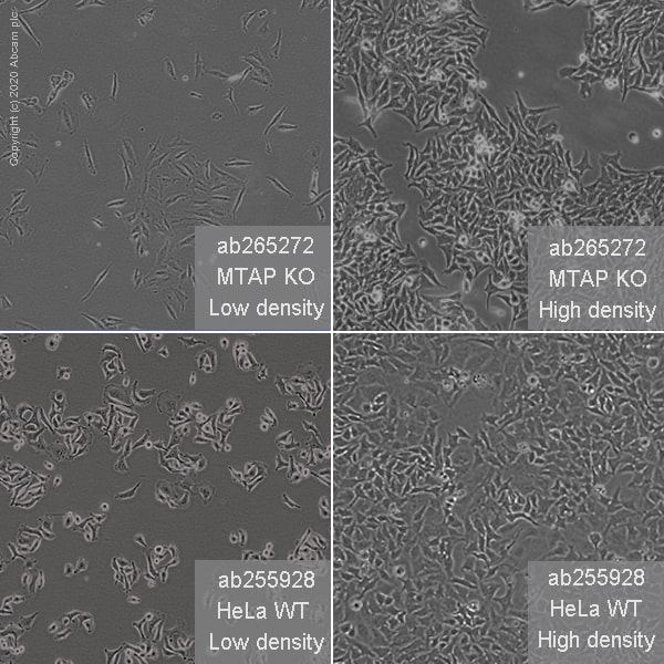 Cell Culture - Human MTAP knockout HeLa cell line (ab265272)