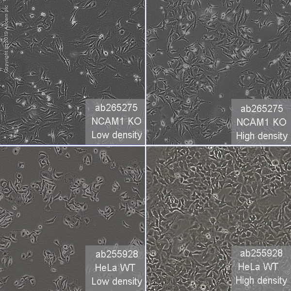 Cell Culture - Human NCAM1 knockout HeLa cell line (ab265275)