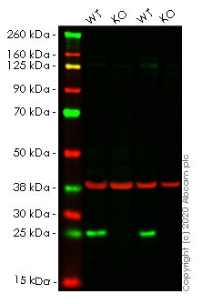 Western blot - Human BAK1 knockout HeLa cell line (ab265277)